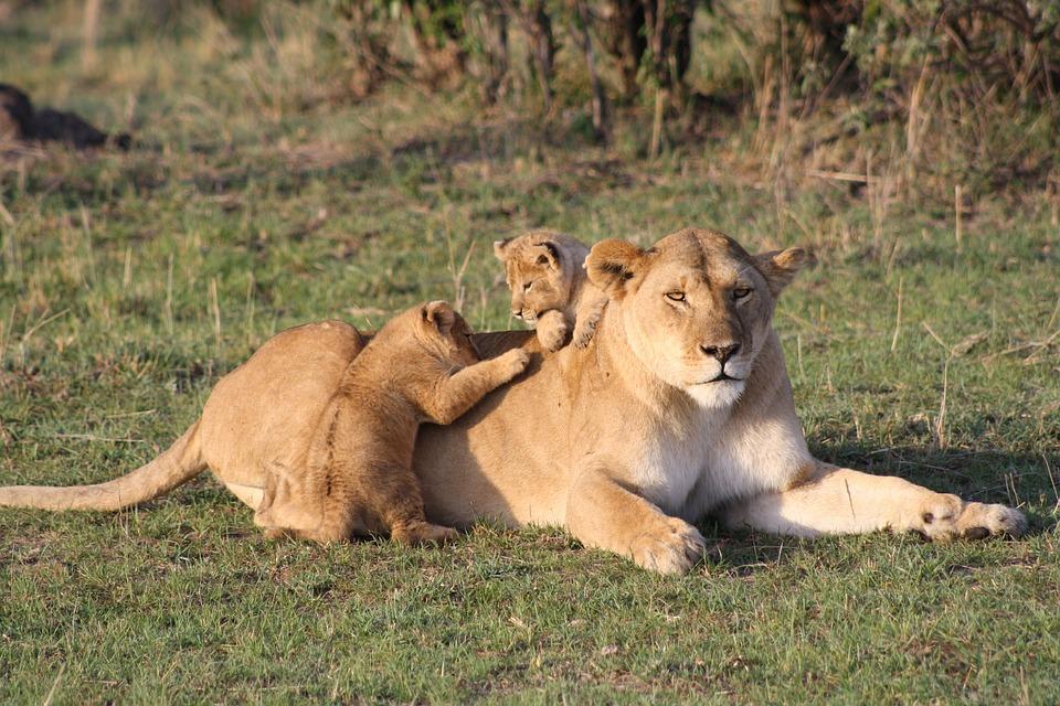 lion-3006875_960_720